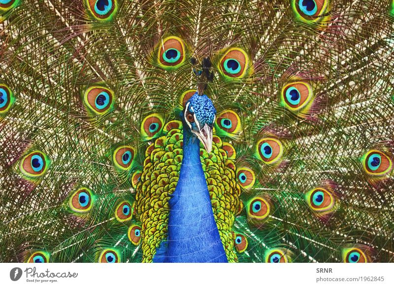 Portrait Of Peacock Animal Bird Wild ceremony courtship display courtship ritual covert featheranimal avian avifauna covert feathers extravagant tail