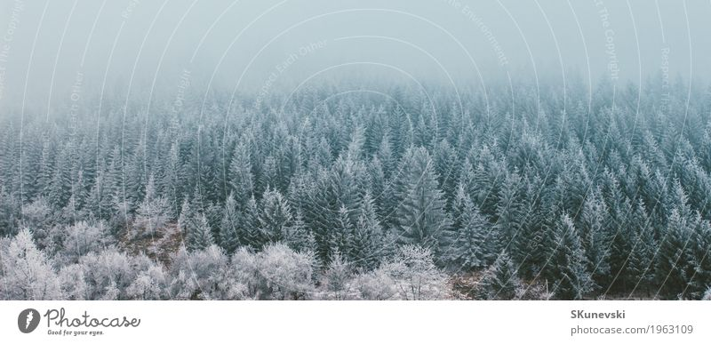 Pine forest in winter. Sky Nature Vacation & Travel Plant Blue Green Beautiful White Tree Landscape Clouds Winter Forest Mountain Environment Snow
