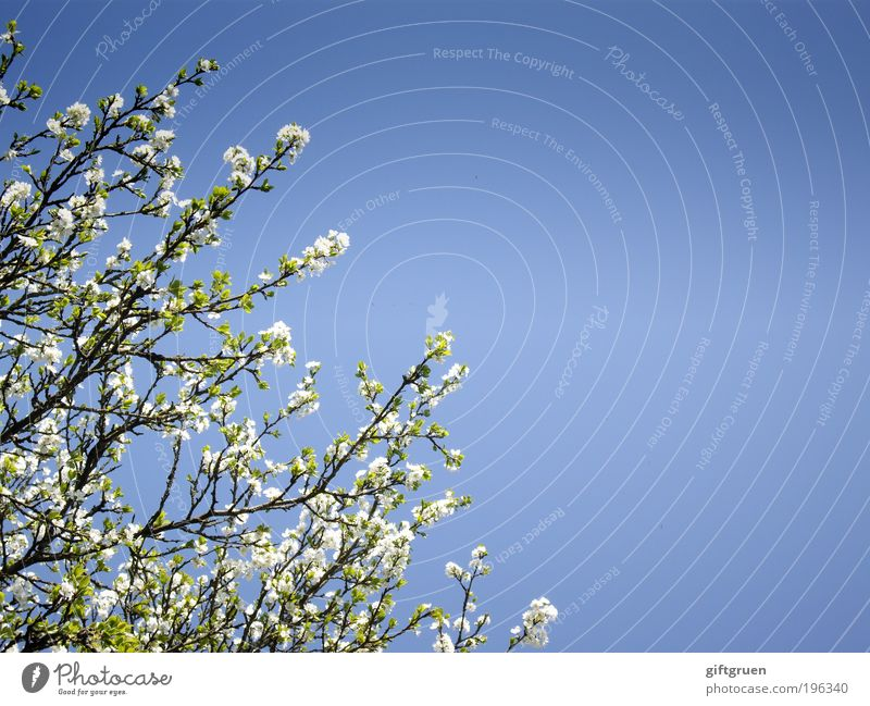 Nature Sky White Tree Sun Blue Plant Leaf Blossom Spring Environment Fruit Clean Branch Blossoming Friendliness