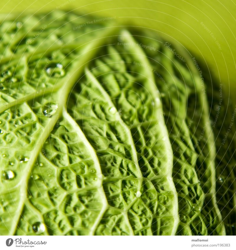 wetted Food Vegetable Savoy cabbage Organic produce Vegetarian diet Environment Drops of water Sphere Fresh Healthy Delicious Green Life line Vessel Cabbage