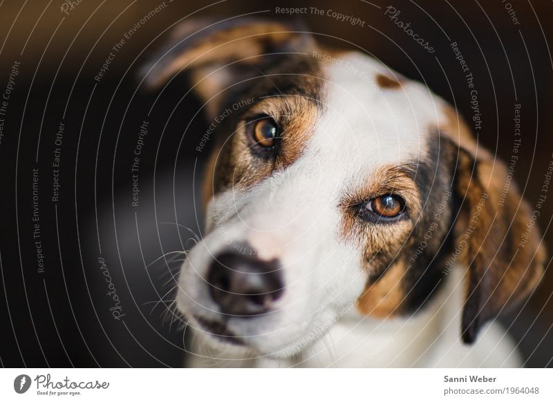 eye contact Animal Pet Dog Animal face Pelt 1 Observe Looking Brown White Contact dog animal mammal Looking into the camera Colour photo Interior shot Close-up