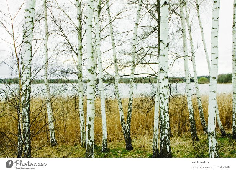birches Nature April Relaxation Spring Park Forest Forest walk Tree Birch tree Lake Water Surface of water Body of water Lakeside River bank Havel Brandenburg