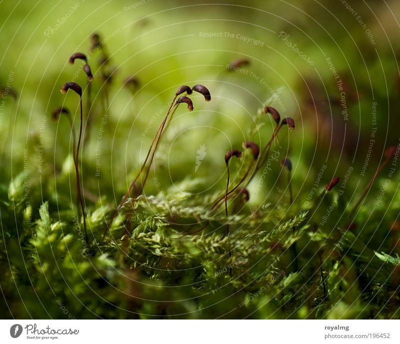 Nature Green Plant Environment Fresh Moss Seed Macro (Extreme close-up) Foliage plant Woodground Carpet of moss