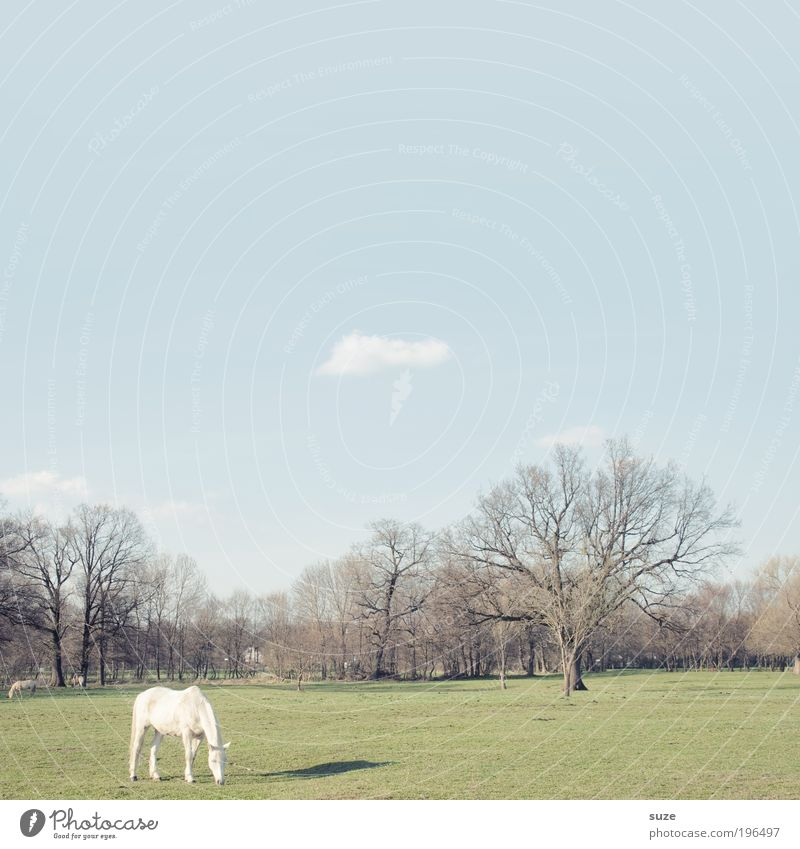 Sky Nature White Tree Green Blue Calm Animal Meadow Landscape Environment Horse Stand Pasture Individual To feed