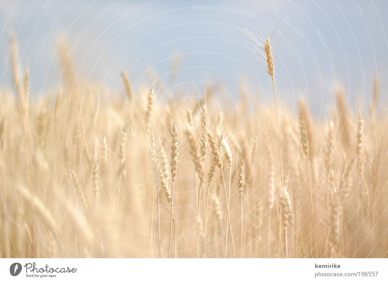 Nature Blue Plant Summer Nutrition Animal Yellow Autumn Landscape Moody Field Food Environment Gold Grain Organic produce