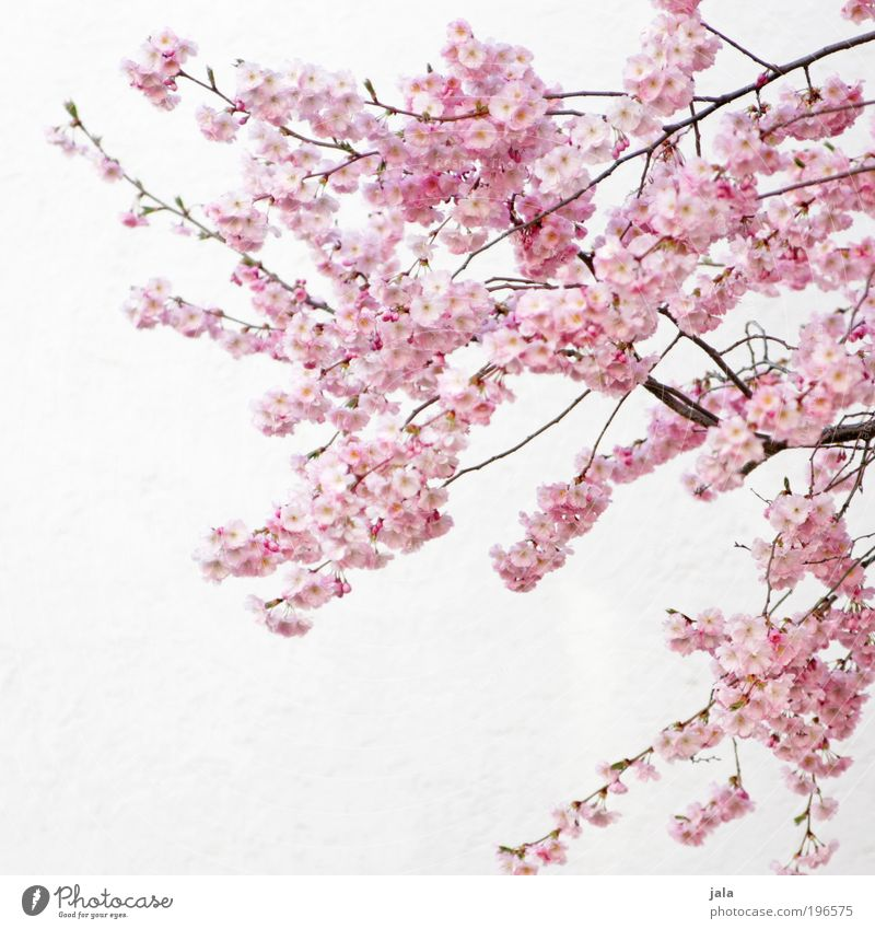 Nature Beautiful White Tree Flower Plant Leaf Wall (building) Blossom Spring Wall (barrier) Park Bright Pink Facade Friendliness