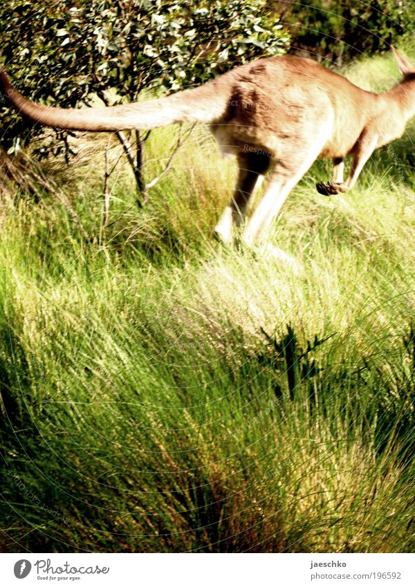 Nature Animal Far-off places Meadow Jump Movement Freedom Fear Elegant Tourism Natural Wild animal Dynamics Exotic Fear of death Australia