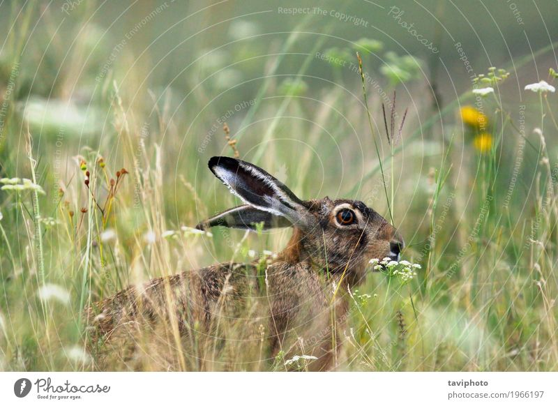 wild brown european hare Playing Hunting Easter Nature Animal Grass Meadow Fur coat Sit Natural Cute Wild Brown Gray Green Watchfulness lepus europaeus wildlife
