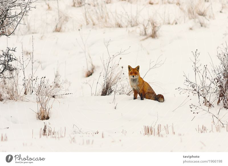wild european red fox in snow Beautiful Face Winter Snow Nature Animal Meadow Forest Fur coat Dog Cute Smart Wild Red White vulpes European Fox colorful