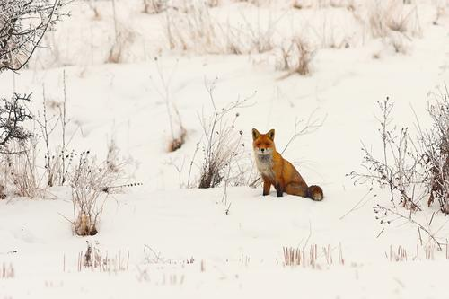 wild european red fox in snow Nature Dog Beautiful White Red Animal Winter Forest Face Meadow Snow Wild Cute Living thing European Mammal