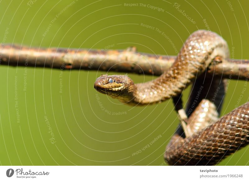 close up of smooth snake on branch Nature Colour Green Beautiful Tree Animal Forest Environment Life Garden Brown Wild Living thing Climbing European Ecological