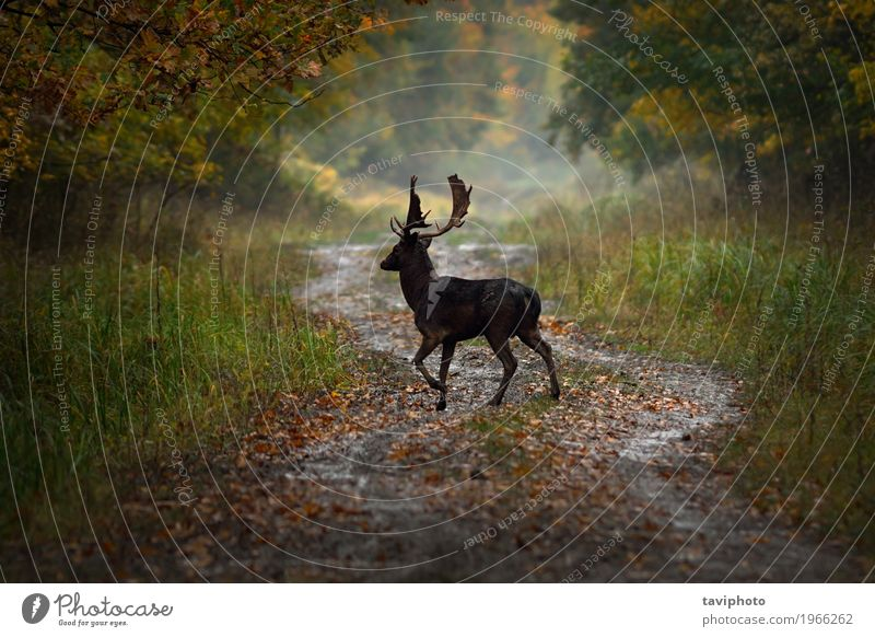 fallow deer buck on forest road Nature Man Summer Colour Green Beautiful Landscape Animal Forest Adults Autumn Natural Playing Brown Wild Park