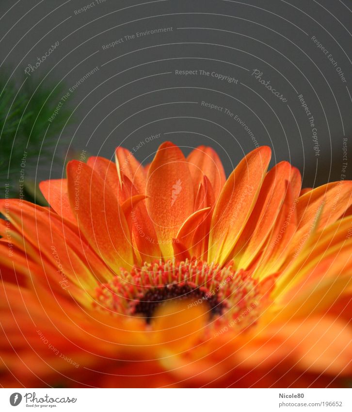 Nature Flower Plant Red Yellow Blossom Orange Environment Esthetic Authentic Simple Fragrance Bouquet Gerbera