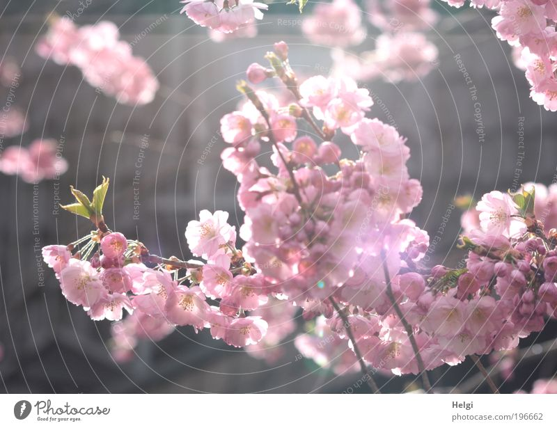 pink flowers of the ornamental cherry in sunlight Environment Nature Plant Spring Beautiful weather Tree Leaf Blossom Park Blossoming Fragrance Hang Illuminate