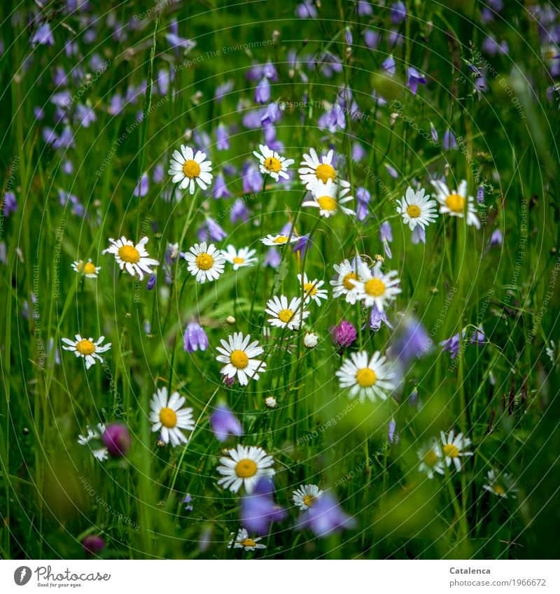 Together Nature Plant Summer Flower Grass Leaf Blossom Marguerite Bluebell Clover blossom Meadow Field Blossoming Fragrance Growth Esthetic Beautiful Yellow
