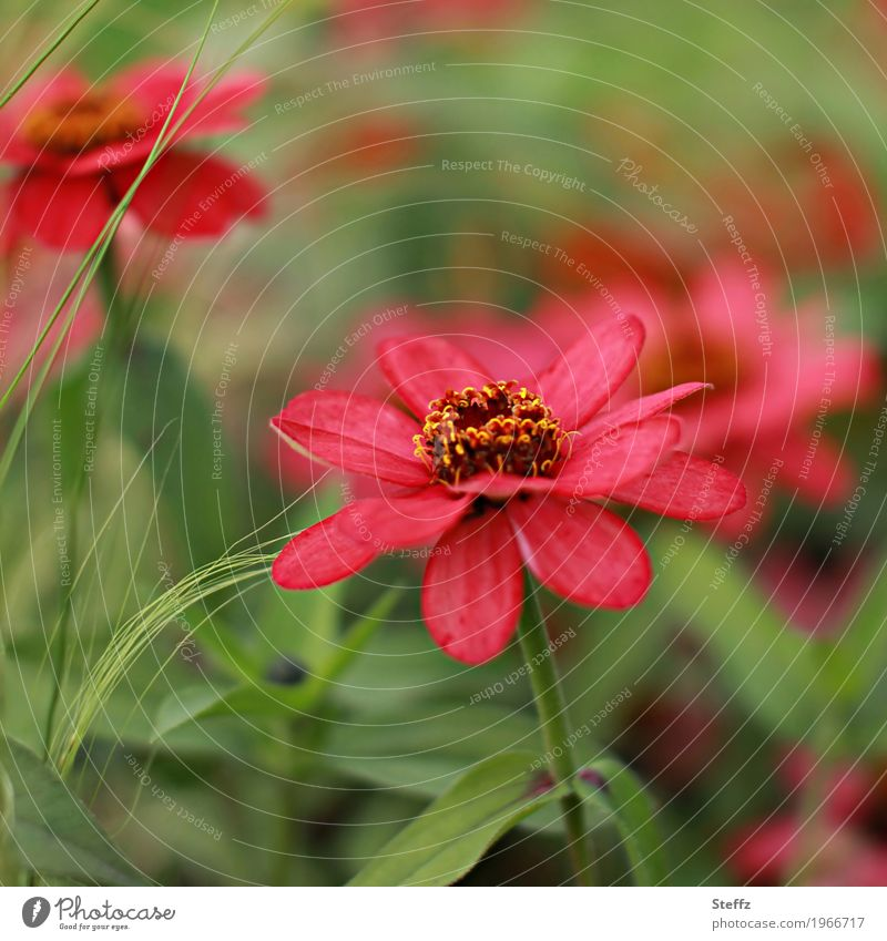 flower in red Environment Nature Plant Summer Flower Blossom Rudbeckia Purple cone flower Blossom leave Summerflower garden flower Garden plants Park Blossoming