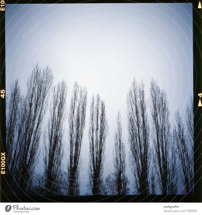 poplars Environment Nature Landscape Sky Winter Weather Tree Field Forest Threat Dark Creepy Cold Natural Blue Grief Climate Calm Moody Death Treetop Poplar Row