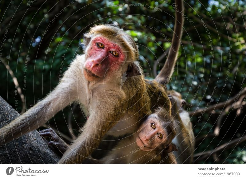 Monkeys with red face in Sri Lanka Vacation & Travel Tourism Trip Adventure Far-off places Safari Virgin forest Wild animal 2 Animal Red Considerate Protection