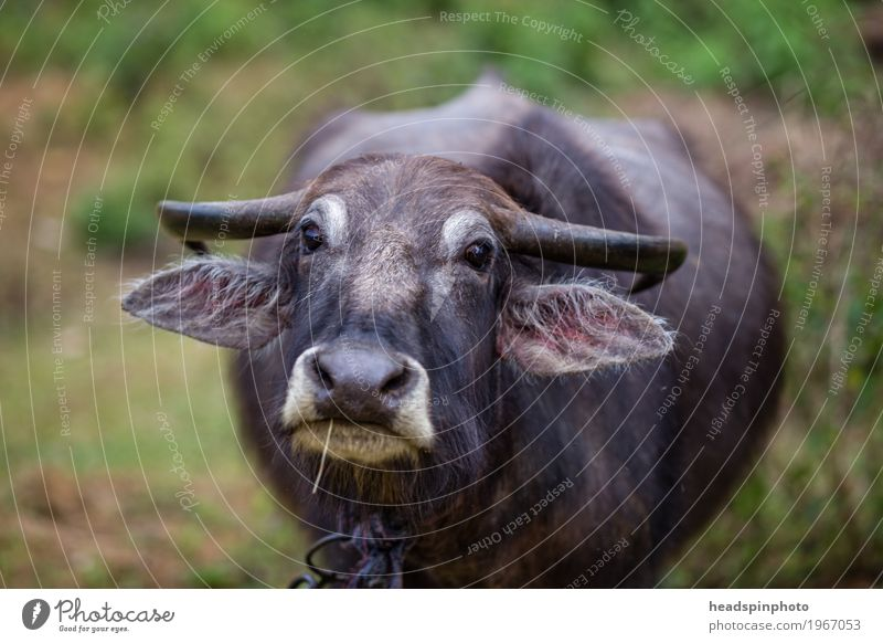 Indian water buffalo looks into the camera Vacation & Travel Tourism Trip Adventure Far-off places Expedition Meadow Field Sri Lanka Farm animal Animal face 1