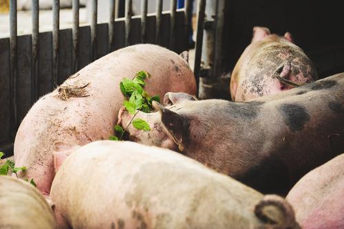 organic pigs Meat Sausage Nutrition Organic produce Healthy Health care Healthy Eating Agriculture Farm Farmer Animal Farm animal Swine Pigs Group of animals