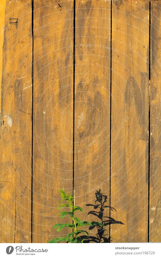 Summer wall Plant flora Wall (building) Wall (barrier) wooden Old worn Shadow Sunlight Warmth Hot Nature growing Growth
