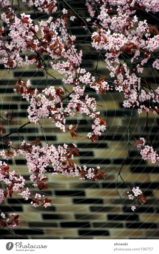 Nature Tree Plant Leaf Life Wall (building) Environment Blossom Wall (barrier) Spring Pink Facade Natural Kitsch Blossoming
