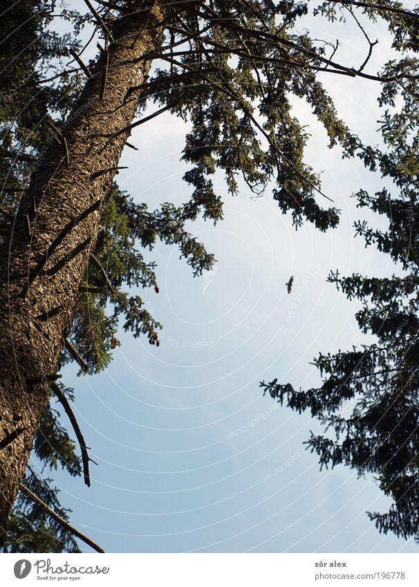 Hunting Sky Tree Fir tree Spruce Tree trunk Forest Animal Bird Falcon Bird of prey 1 Observe Flying Threat Speed Wild Blue Brown Green Power Brave Endurance