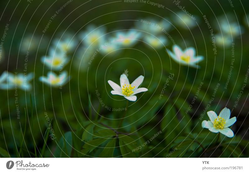 I will follow you into the Dark Environment Nature Plant Spring Flower Leaf Blossom Wild plant Meadow Blossoming Illuminate Growth Fragrance Near Green Moody