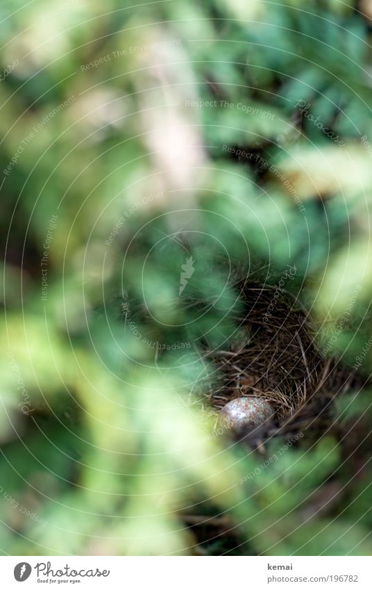 Hiding in hedges is good Plant Animal Bushes Foliage plant Wild plant Tuja Hedge Wild animal Bird Egg Blackbird amselei Nest-building Love and security Eyrie