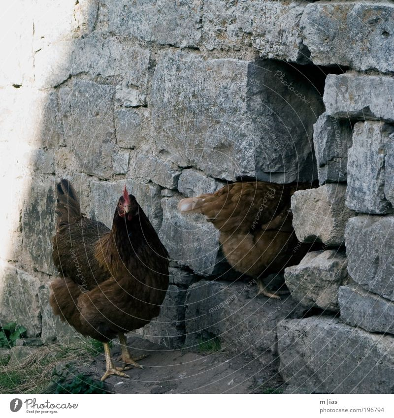 Animal Wall (barrier) Stone Brown Contentment Feather Wing Curiosity Agriculture Gate Hide Hollow Egg Testing & Control Pet Beak
