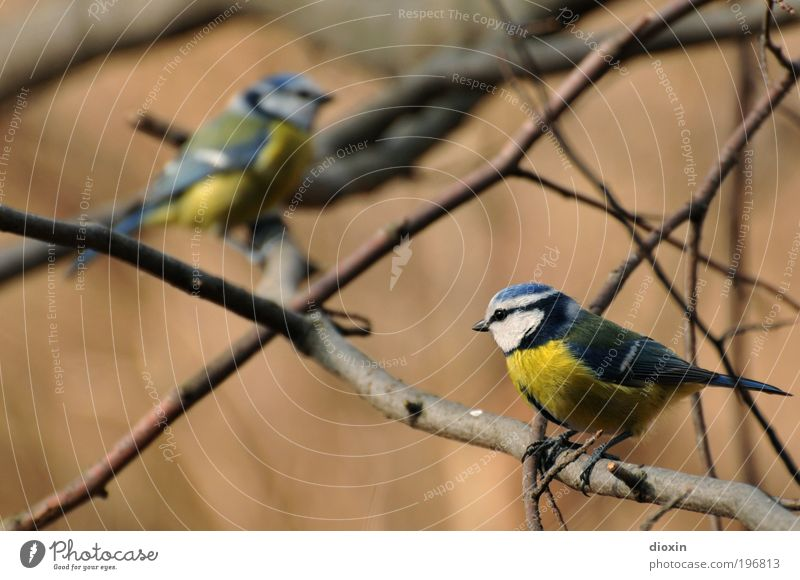 Approach attempt (Cyanistes caeruleus) Plant Tree Garden Park Animal Wild animal Bird Wing 2 Pair of animals Crouch Communicate Blue Yellow Black White
