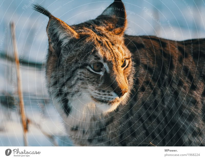 lynx Animal Cat 1 Beautiful Lynx Winter Wild cat Land-based carnivore Forest Game park Paw Colour photo Exterior shot Deserted Shallow depth of field Cat eyes