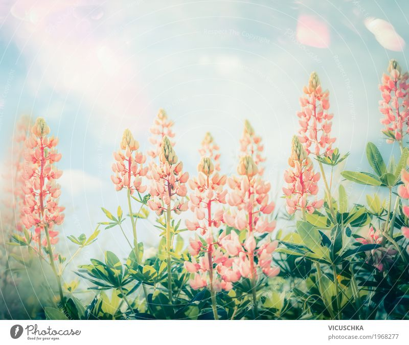 Sky Nature Plant Summer Sun Flower Leaf Blossom Lifestyle Garden Design Pink Park Blossoming Beautiful weather Pastel tone