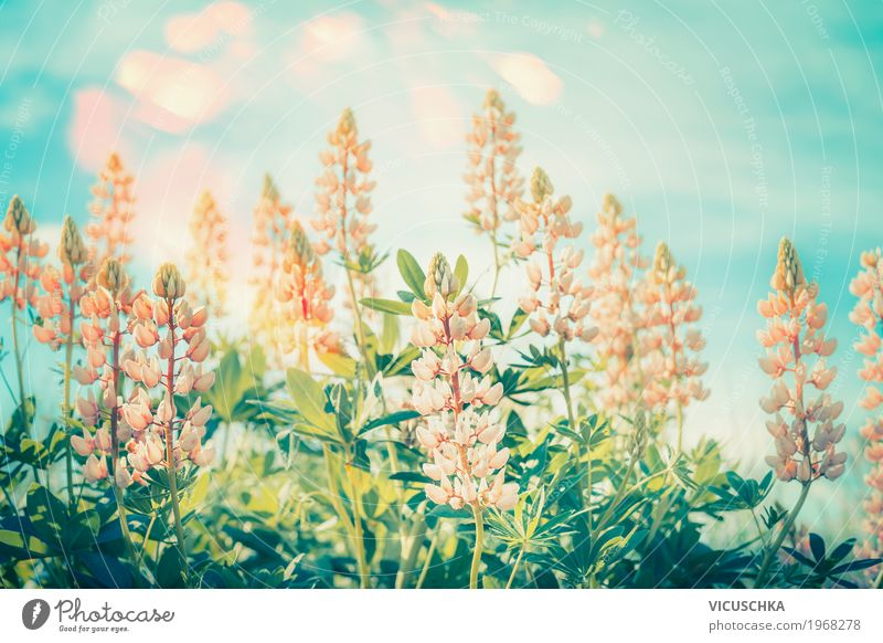 Floral nature background with lupines Lifestyle Leisure and hobbies Summer Garden Environment Nature Landscape Plant Sky Sunlight Flower Leaf Blossom Park