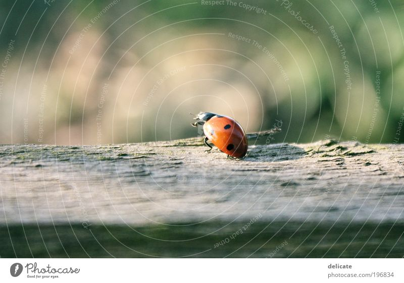 herald of spring Nature Summer Animal Beetle Ladybird 1 Observe Movement Flying Crawl Brown Multicoloured Green Red Colour photo Exterior shot Deserted