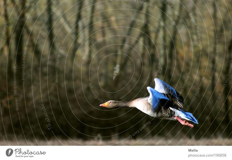 Nature Animal Freedom Movement Environment Bird Flying Free Beginning Natural Idyll Wild animal Effort Environmental protection Goose