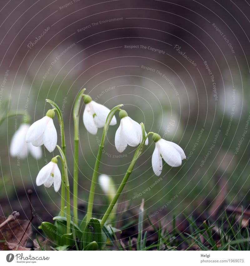 Spring in sight ... Environment Nature Plant Flower Grass Blossom Snowdrop Park Blossoming Stand Growth Esthetic Beautiful Small Natural Brown Green White