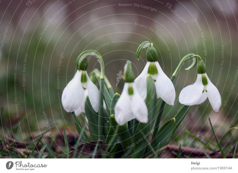 Grow and thrive soon. Environment Nature Plant Spring Flower Leaf Blossom Snowdrop Garden Blossoming Growth Beautiful Small Natural Brown Green White Moody