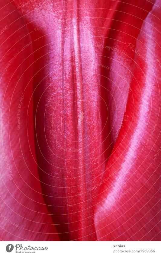 Beautiful Red Blossom Spring Garden Glittering Soft Tulip Tulip blossom