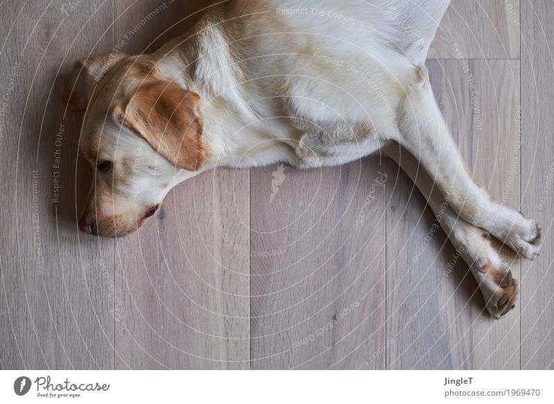 relaxation Animal Pet Dog Labrador 1 Wood Lie Brown Yellow Black White Safety (feeling of) Relaxation Colour photo Interior shot Deserted Copy Space bottom Day