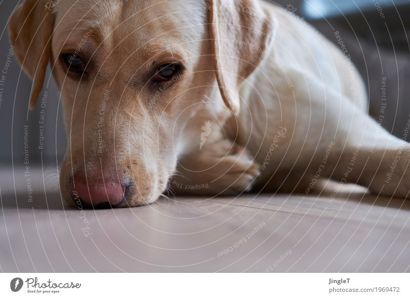 doggie eyes Animal Pet Dog Labrador 1 Communicate Looking Blue Brown Yellow Gold Black White Contact Moody Colour photo Interior shot Deserted Copy Space bottom