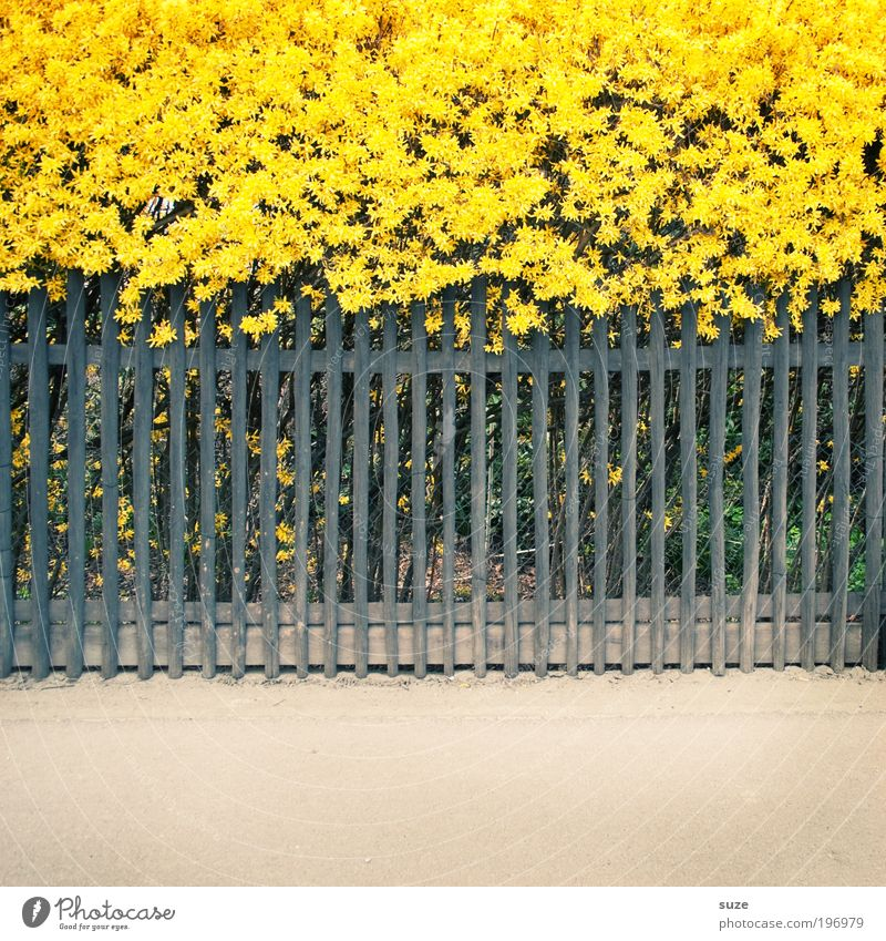 Nature Plant Flower Environment Yellow Spring Lanes & trails Garden Illuminate Arrangement Bushes Happiness Blossoming Beautiful weather Stripe Fence
