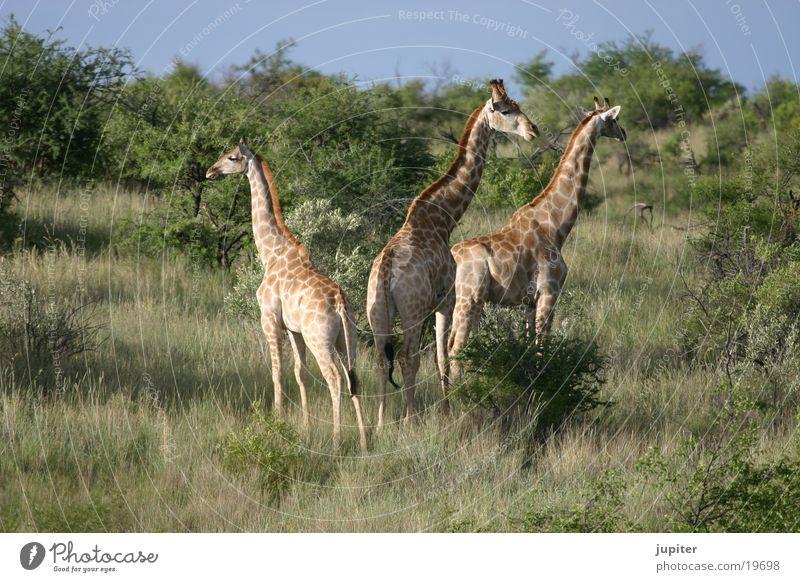 Africa Safari Namibia Giraffe