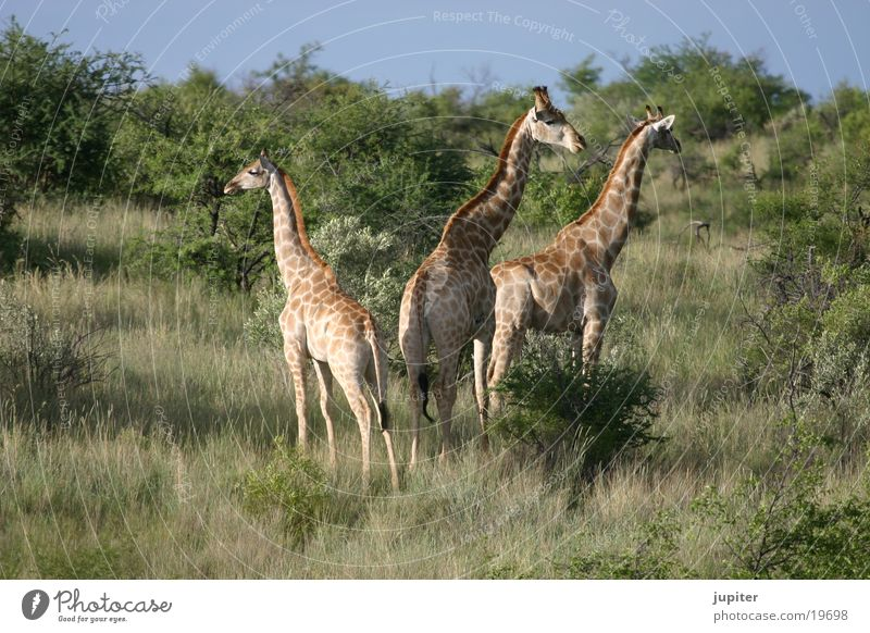 giraffe family Namibia Africa Safari Giraffe