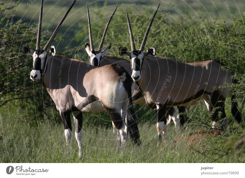 Africa Safari Namibia Antelope Gemsbok