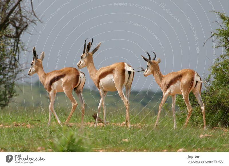 3 springboks Springbok Antelope Namibia Africa Safari