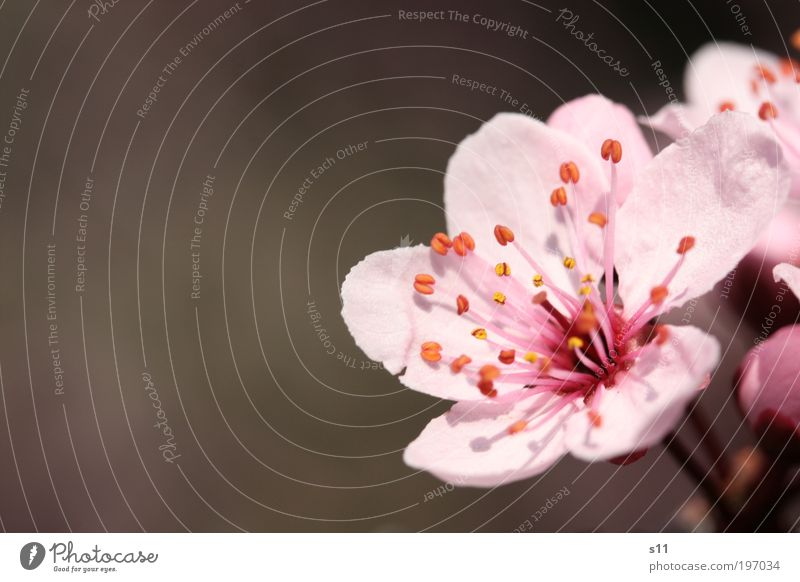 cherry blossom Environment Nature Plant Spring Beautiful weather Tree Flower Park Blossoming Fragrance Growth Esthetic Elegant Pink Moody Contentment