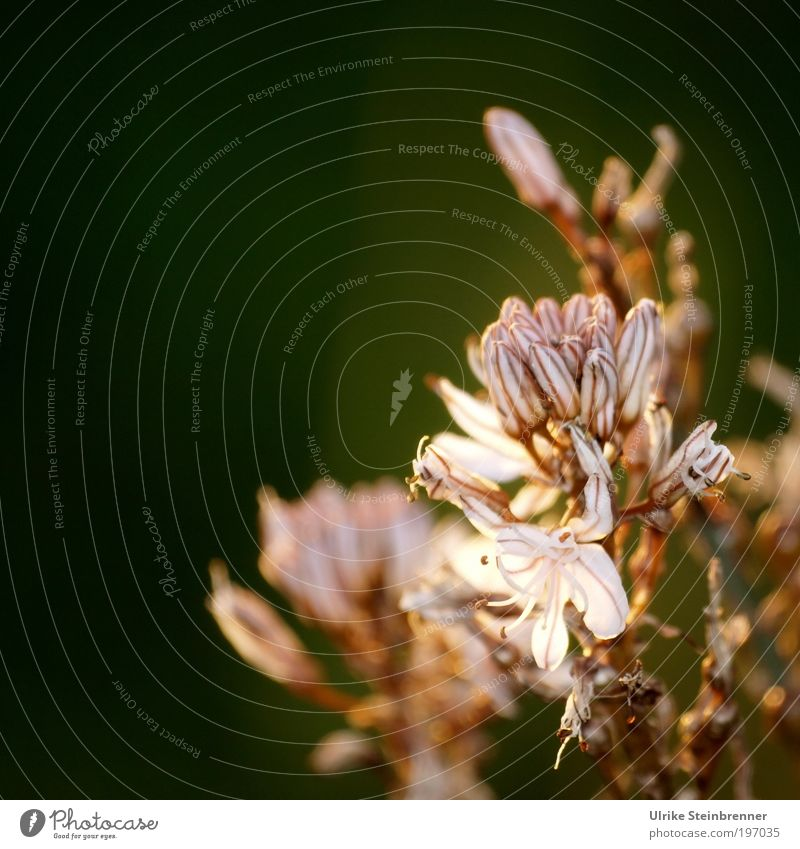 """asphodelos flower Plant Spring Flower Wild plant Field """"Symbol,"""" Antiquity Blossoming Fragrance Growth Esthetic Natural White Spring fever Grief Death Weed"""