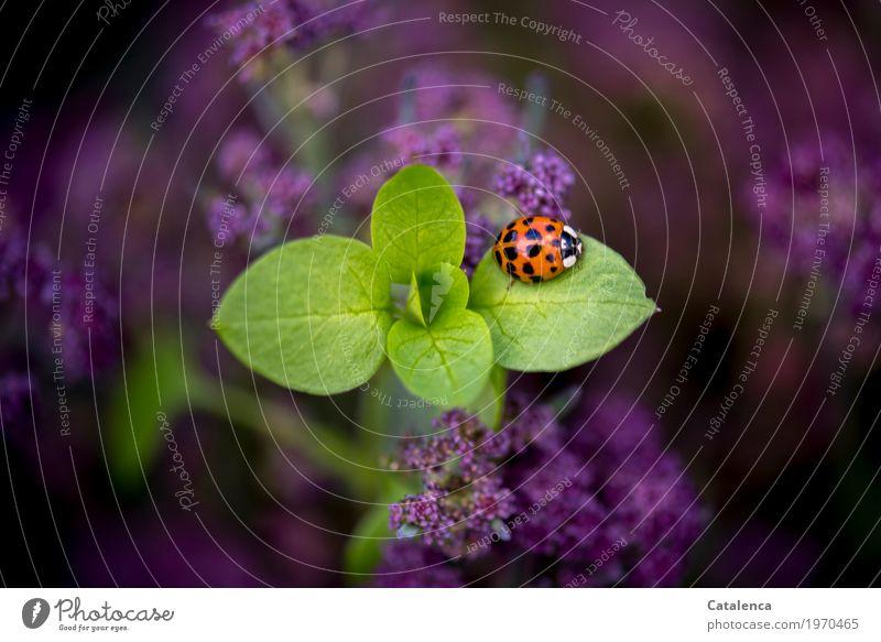 ladybugs Nature Plant Animal Summer Leaf Blossom Agricultural crop Cauliflower Garden Vegetable garden Beetle Ladybird 1 Crawl Esthetic Green Violet Orange