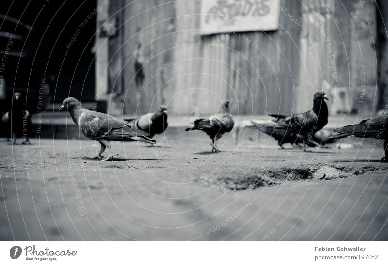 a flock of pigeons Environment Animal Bangkok Thailand South East Asia Old town Hut Bird Flock Dark Curiosity Black White Poverty Movement Town Change Pigeon